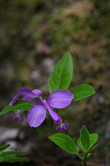 Gaywings (Polygala paucifolia)